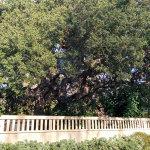 heritage coast live oak on picasso