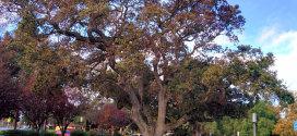 heritage valley oak in murphy park