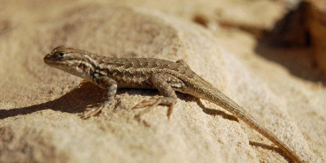 Coast Range Western Lizard