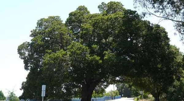 oak tree on Sobey Road