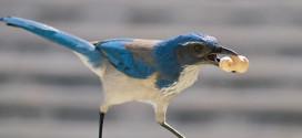 Wester Scrub Jay, Blue Jay