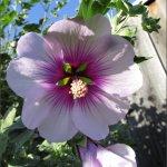 cape mallow flower