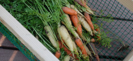 Circus circus carrots