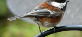 chestnut chickadee male