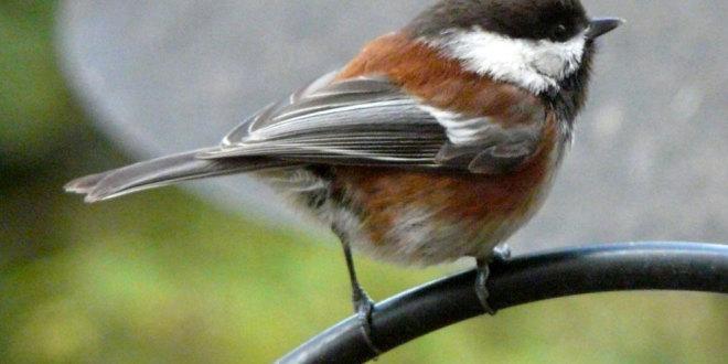 chestnut chickadee male
