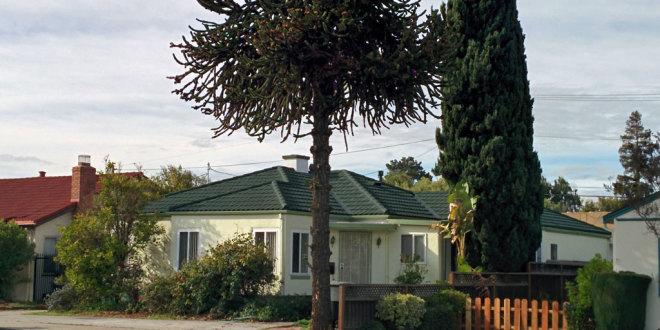 Sunnyvale Heritage Tree – Monkey Puzzle Tree