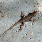 my_coast_range_lizard