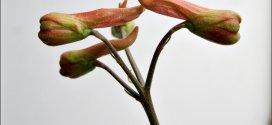 scarlet larkspur flower