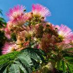 silk tree flowers