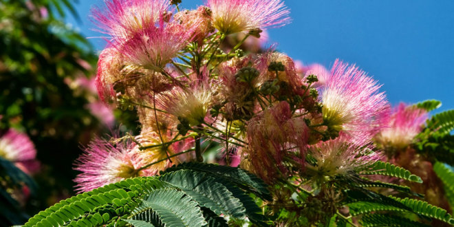 silk tree flowers