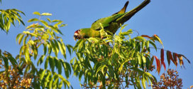 wild parrot of sunnyvale
