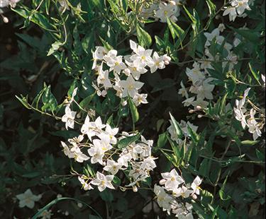 white potato vine flowers