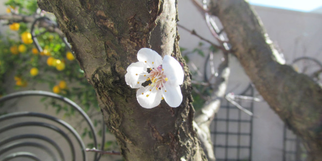 First Apricot blossom in 2015
