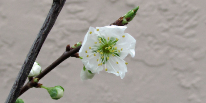 First Santa Rosa Plum blossoms of 2015