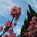 flowering-plum-2016