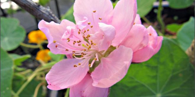 First Nectarine blossom of 2015