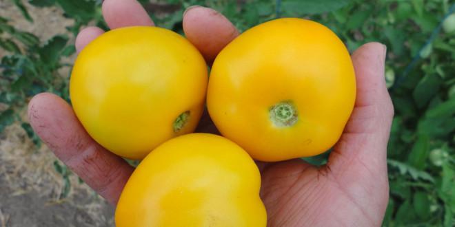 taxi tomato