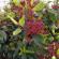 virburnum tinus