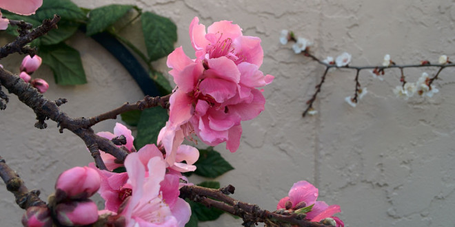 More February 2015 blossoms