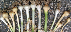 Elephant Garlic May 2015