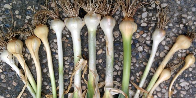 Elephant Garlic May 2015