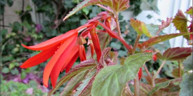 Begonia boliviens s. 'Santa Cruz Sunset'