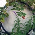 marionberries-in-october