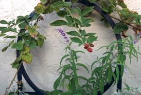 Marionberries in October
