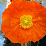 icelandic-poppy