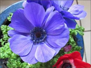blue-anenome