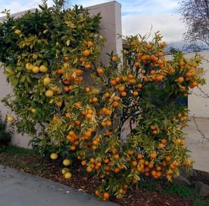 grapefruit-tangerine-dec2015