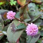 pink-knotweed