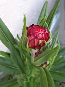 Helichrysum-Bracteatum