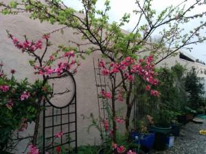 nectarine-blossoms