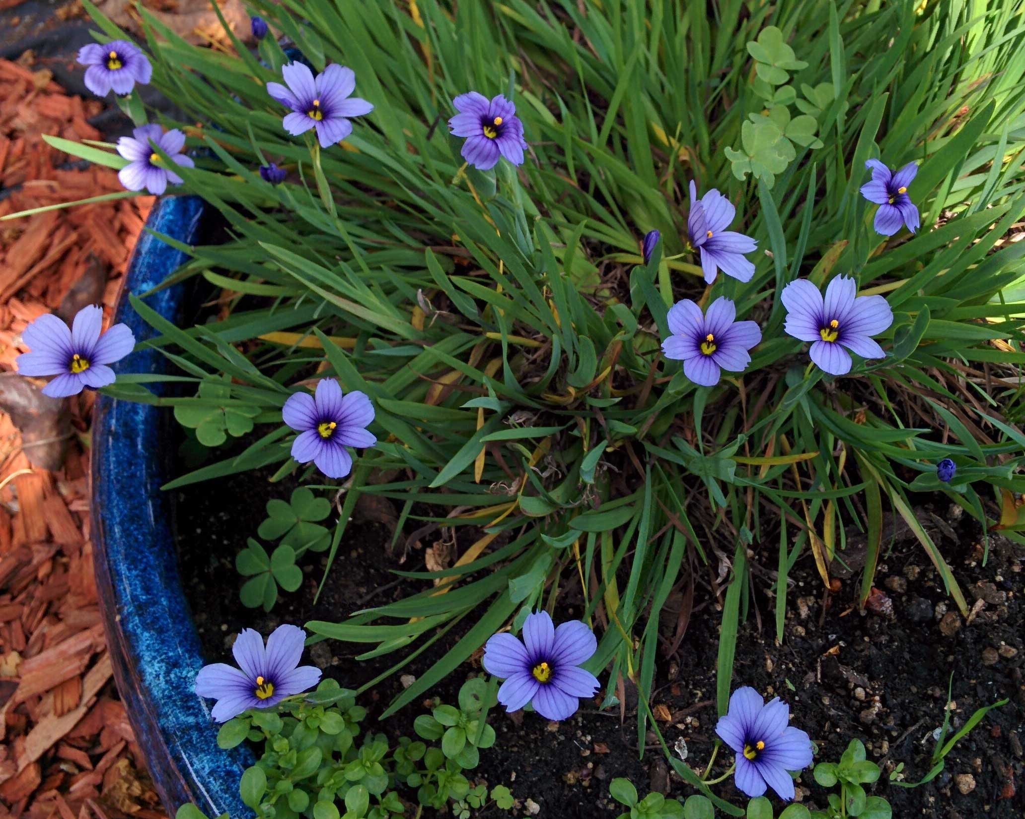This sunnyvale garden april 2016 sunnyvale garden sisyrinchium angustifolium is noted for its violet blue flowers and branched flowering stems though their foliage is grass like the blue eyed grasses izmirmasajfo