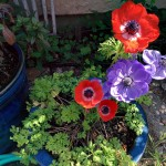 march-anemones