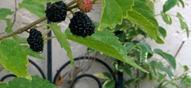 Black Persian Dwarf Mulberry