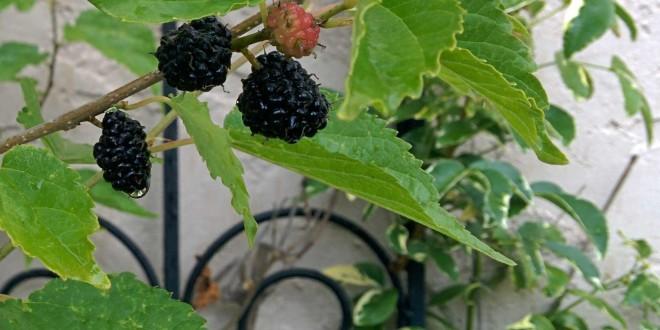Black Persian Dwarf Mulberry
