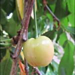 new-cherry