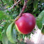 last-nectarine