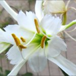 spider-lily
