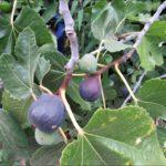 mission-fig-2016-tree