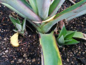 pineapple-baby-plants