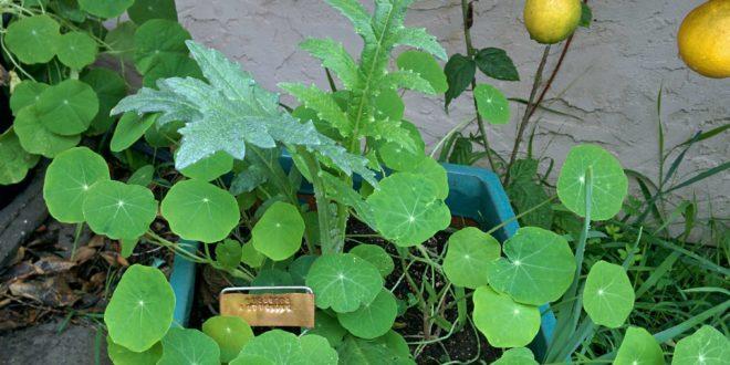 Violetto Artichoke Plant
