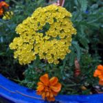 yarrow-marigolds2