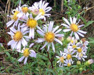 bhm01-daisies