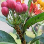 oleander-aphids