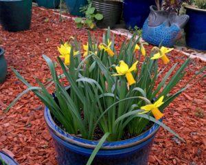 daffodil-2017