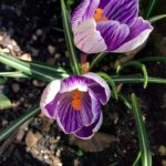 pickwick-crocus