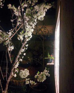 plum-blossom-night